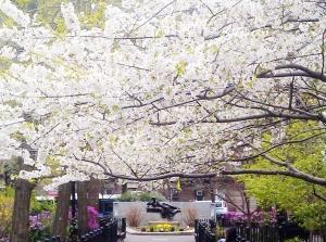 Bradford Tree in full bloom shading Strauss Park, April 23, 2014