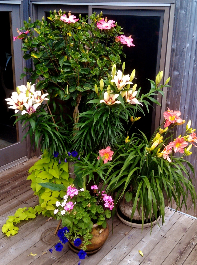Last year, thanks to damage from Superstorm Sandy, the deer had access to the decks, and managed to nip all the lilies in the bud before we ever made it out to the beach, so the're really raring to go this year, as you can see. This grouping sits just to the right inside the door to the front deck.