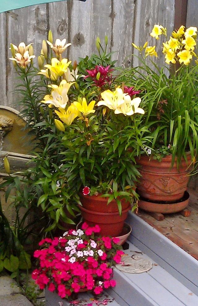 Another grouping of frustrated lilies finally able to strut their stuff.