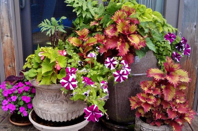 In a shady corner of the pool deck where coleus and begonias thrive. Tuberous begonias are just showing pink buds underneath their leaves.