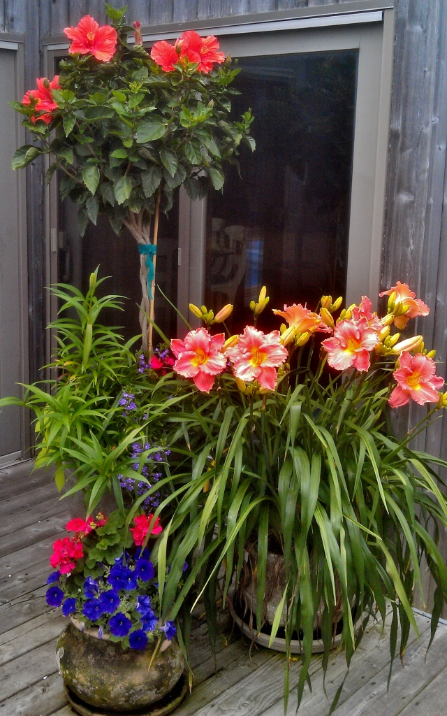 Turn to the right as you enter the deck, and this is what you'll see. Hibiscus and annuals are new this year, but the daylilies - some of my favorites - have lived in their pot though all seasons and many years.