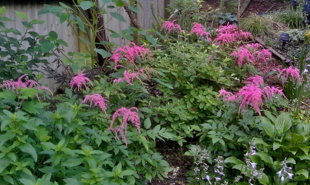 These weeping astilbes are also survivors and descended from some plants I bought from Atlee Burpee Seed company in 1996.