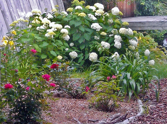 Finally at the top of the hill, just before the entry bridge, is the rose garden. The enormous hydrangea behind it is another survivor. The first year after the flood, it didn't come back at all. The second year - last year - it was one tiny stem with only one flower. Clearly, it was ready to reclaim it's previous spot when this spring rolled around!