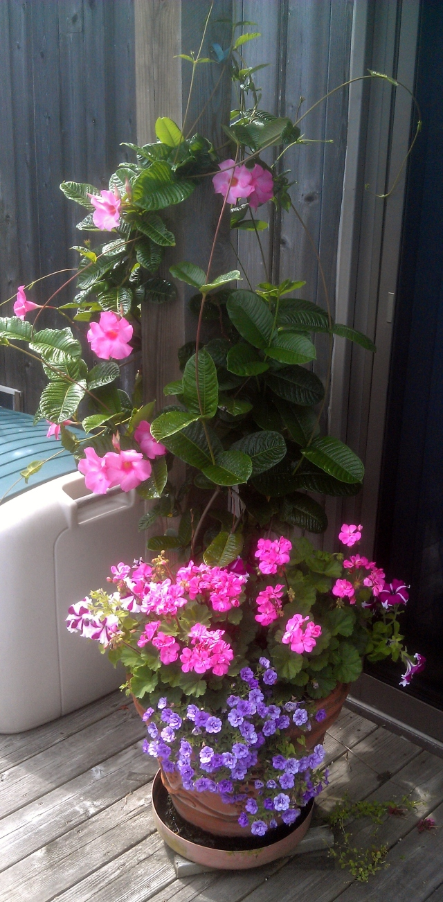 On the other side of the table is this little group, one of my favorites, with a mandevilla that will, by season's end, have climbed all the way up the post and along the balcony rail above it.